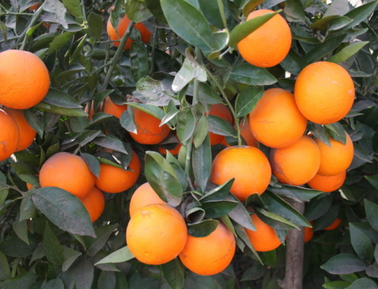 Mediterranean citrus represents over 38% of world production. (Photo H.M)