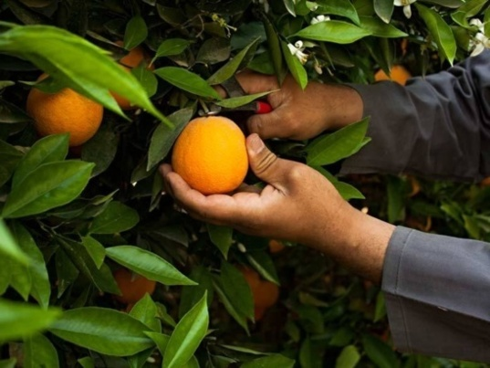 Sluggish orange exports (Photo El-Gebaly Fruit Company)