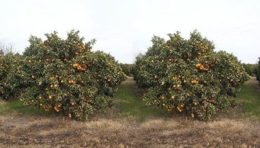 Minimum use of pesticide agriculture (photo Morocco Fruit Board)
