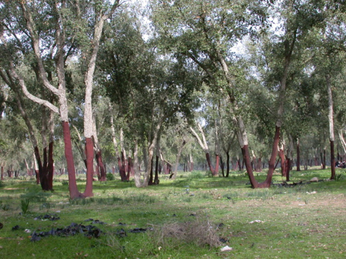 Maâmora Forest in Morocco (DR)