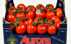 Tomatoes: the winning strategy of the Aurora co-operative in Sicily