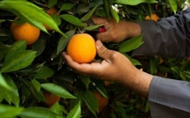 Decline in Moroccan citrus fruit exports